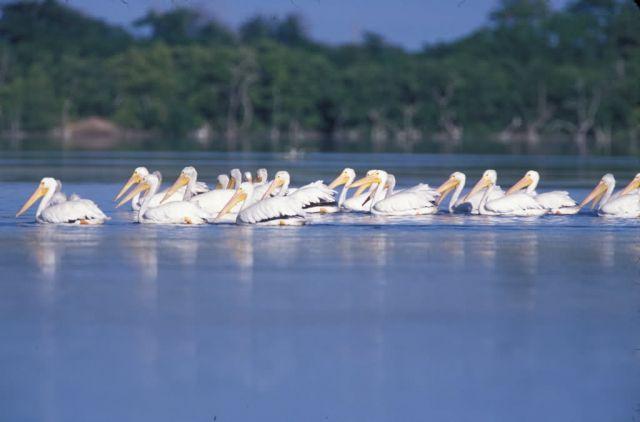 WO4207 White Pelican Picture