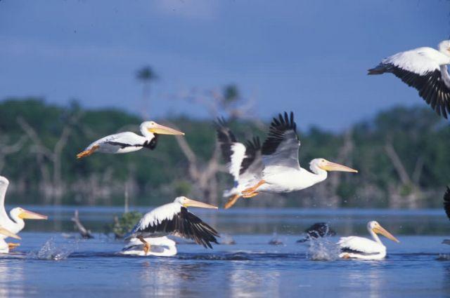 WO4200 White Pelican Picture