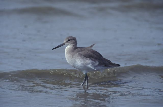 WO4223 Willet Picture