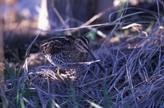 WO4225 Wilson's Snipe Picture