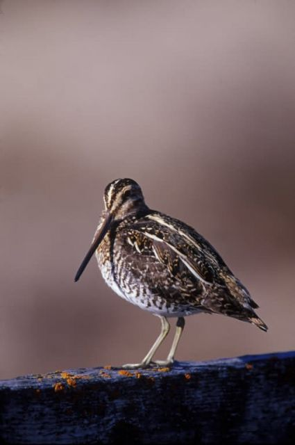 WO4396 Wilson's Snipe Picture