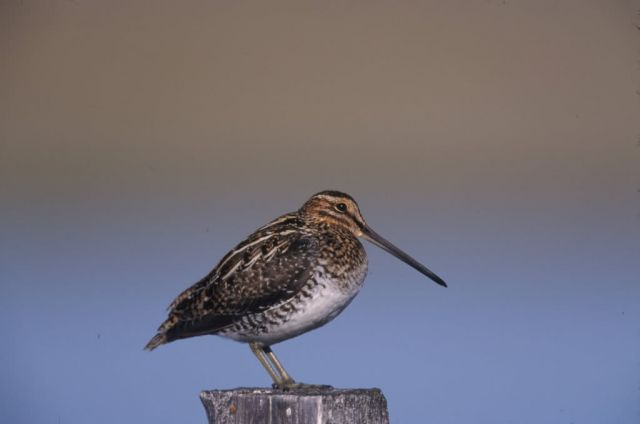 WO4224 Wilson's Snipe Picture