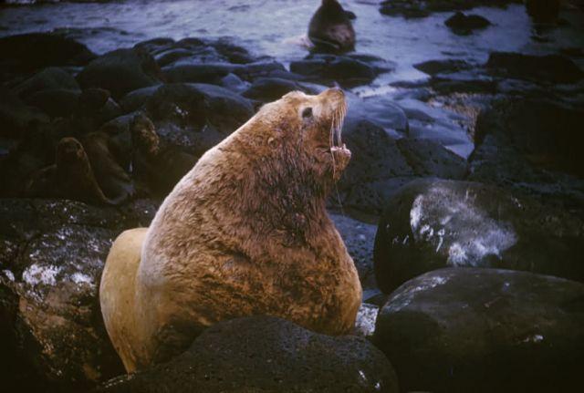 Sea lion Picture