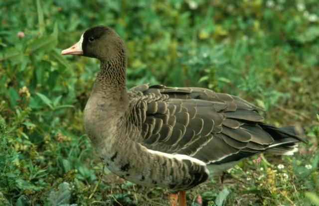 Tule White Front Goose Picture