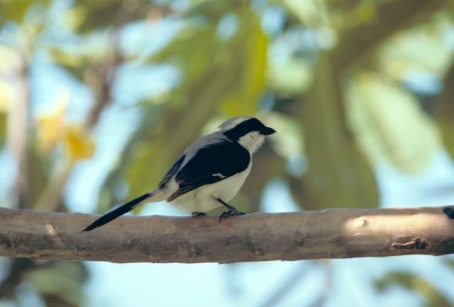 Gray-Backed Fiscal Shrike Picture