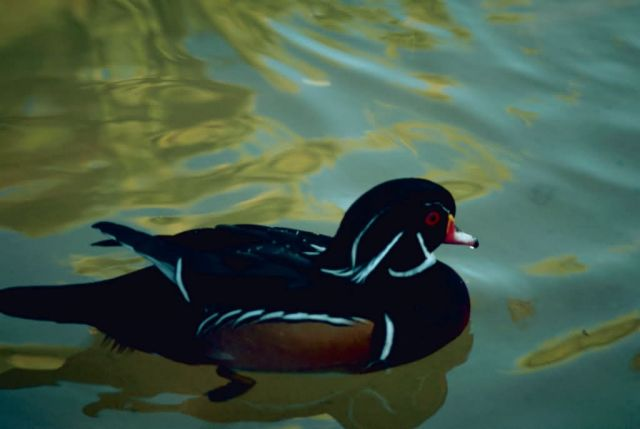 Wood Duck Drake Picture