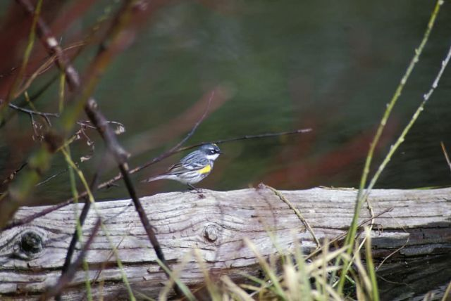 Yellow-rumped Warbler (Mrytle) Picture