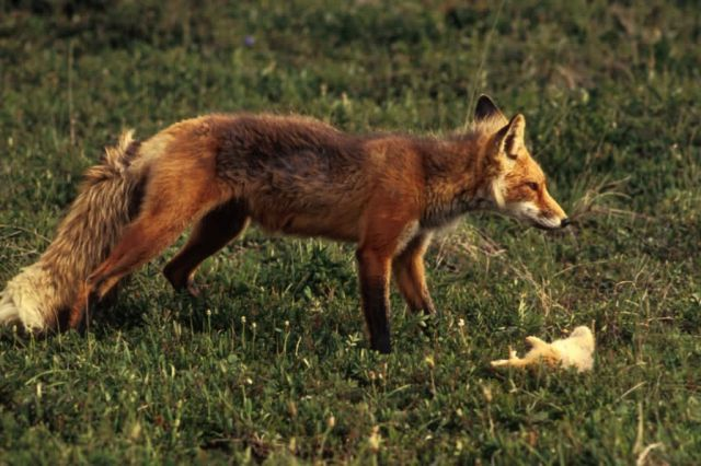 Red Fox with Prey Picture