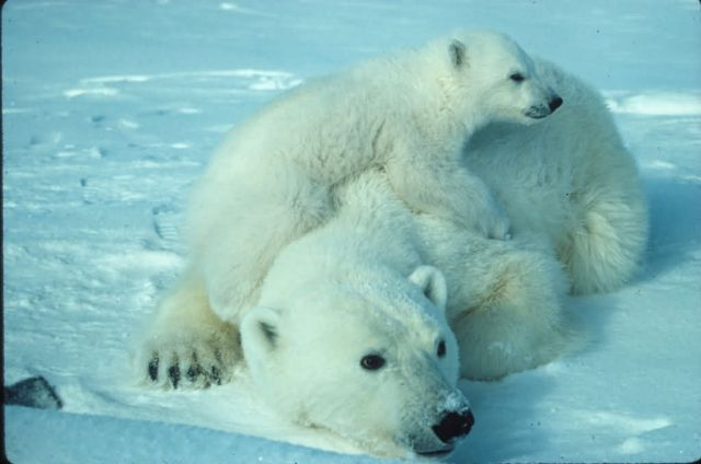 WO2000 Polar bear with cub Picture