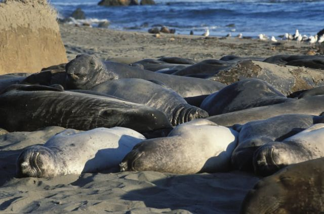 Elephant Seal Picture