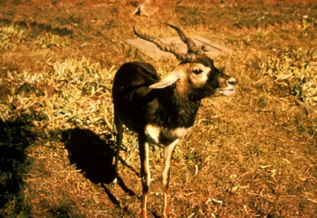 Blackbuck Antelope Picture