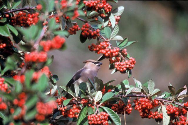 Cedar Waxwing Picture