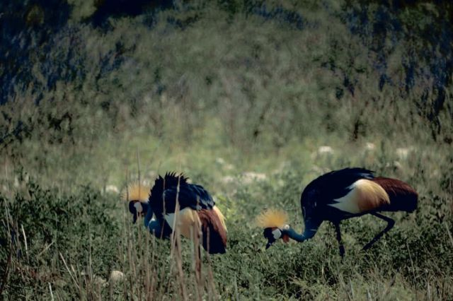 Crowned Cranes Picture