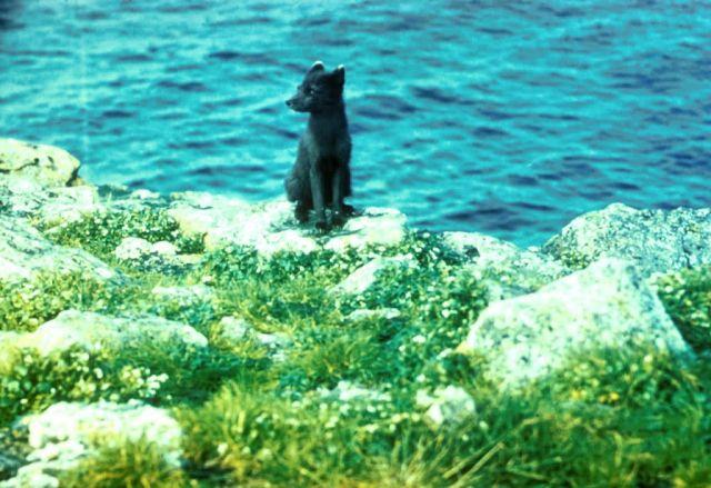 Arctic Fox Picture