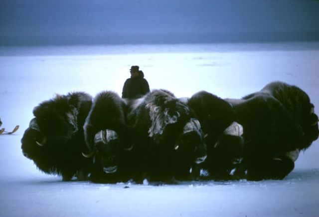 musk oxen Picture
