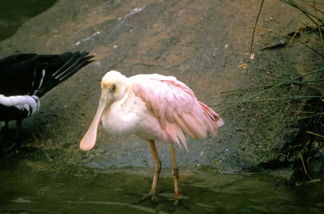 Roseate Spoonbill Picture