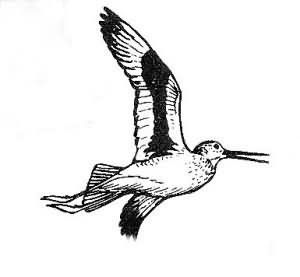 Willet Picture