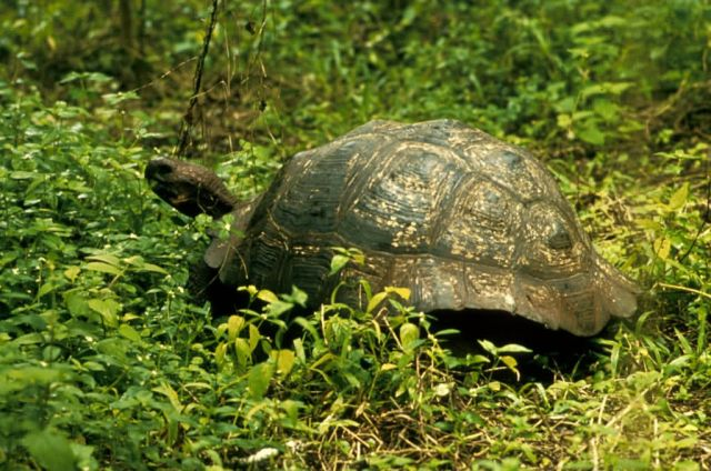 Galapagos Tortoise Picture