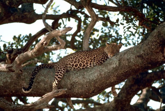 Leopard Picture