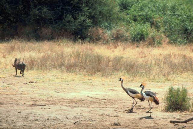 Warthog and Crowned Cranes Picture