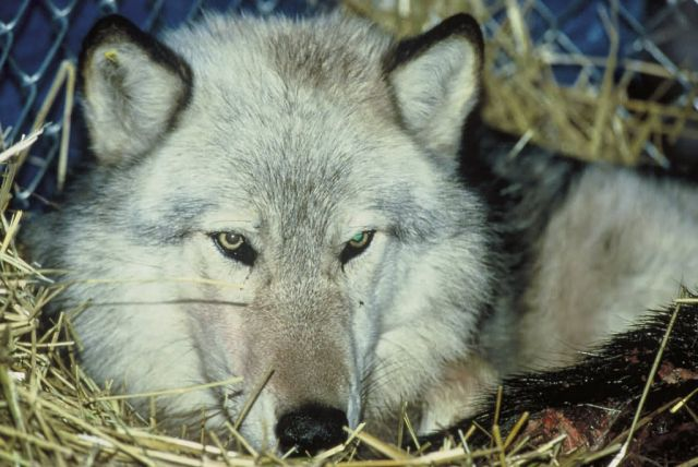 Gray Wolf Relocation Picture