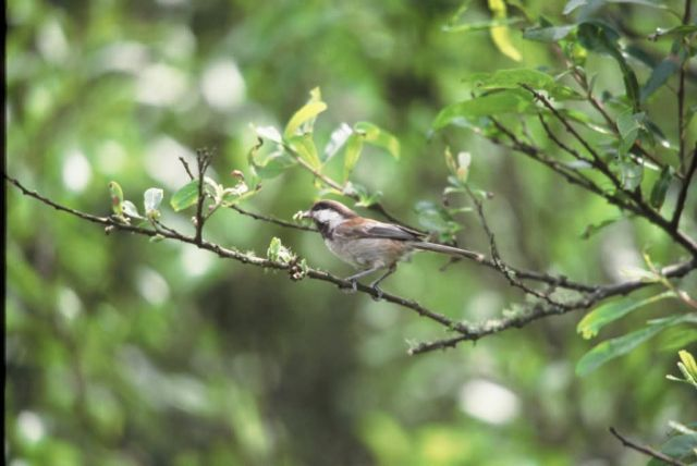 WO11 Chestnut Backed Chickadee Picture