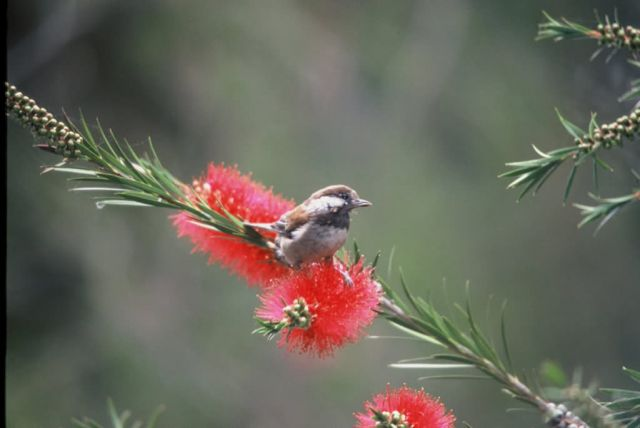 WO13 Chestnut Backed Chickadee Picture