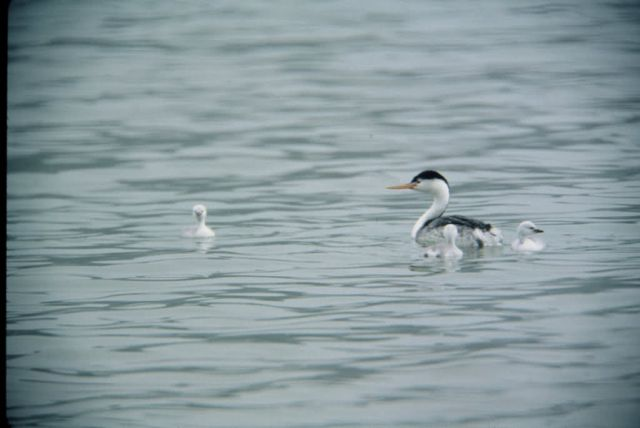 WO14 Clarks Grebe and Chicks Picture