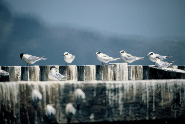 WO16 Common Terns Picture