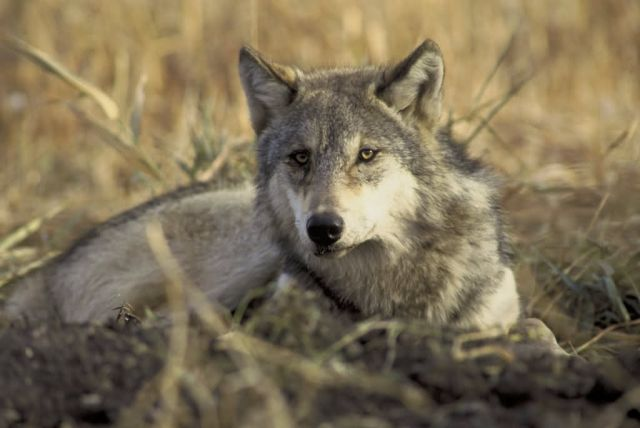 Gray Wolf Picture