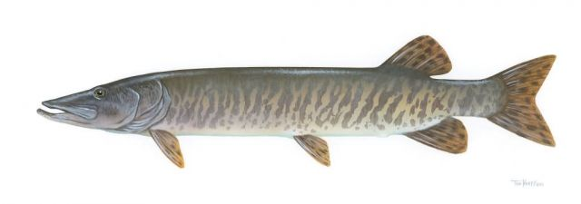 Muskellunge Picture