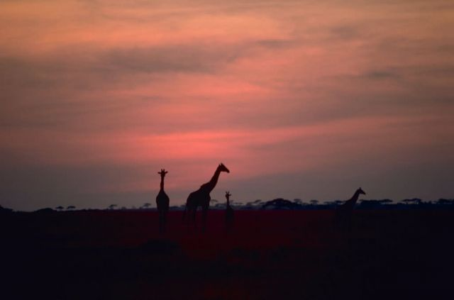 Giraffes in African Sunset Picture