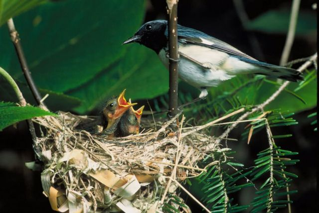 Black-Throated Blue Warbler Picture