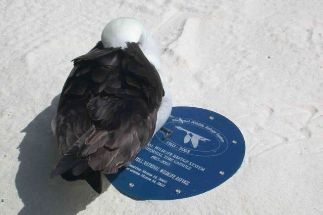 Laysan Albatross sleeping on time capsule lid Picture
