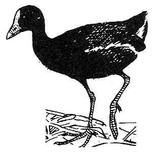gallinule Picture