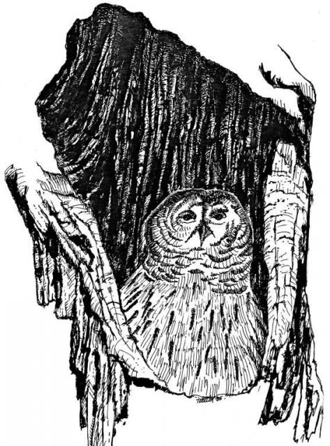 Barrow Owl Picture