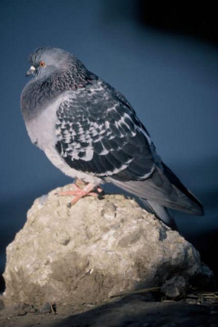 Rock Dove Picture