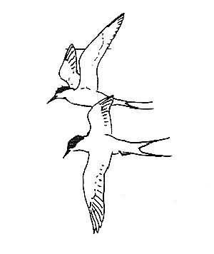 arctic tern 3 Picture