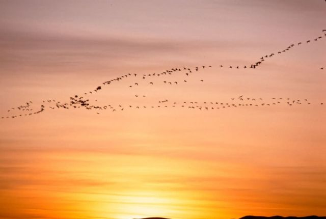 Snow Geese in Sunset Picture