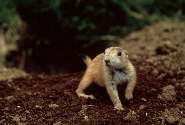 Prairie Dogs Picture