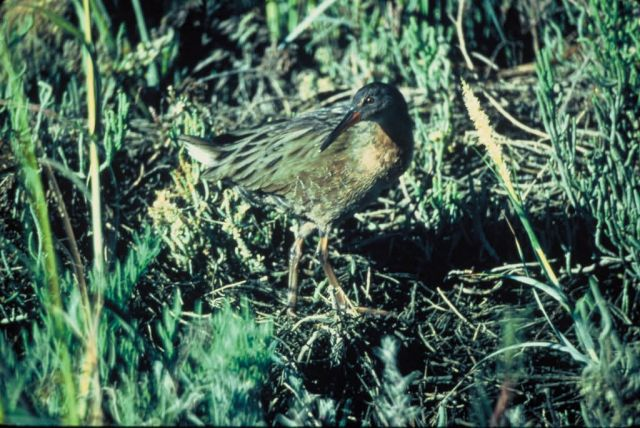 California Clapper Rail Picture