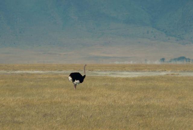 Ostrich (Male) Picture