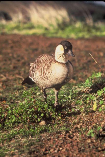 Nene Goose Picture