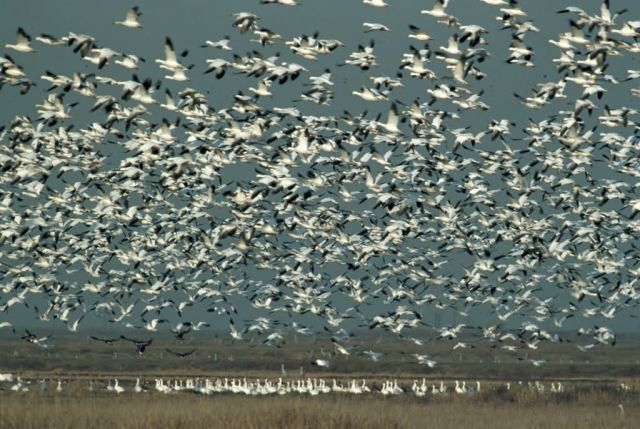 Snow Geese Picture