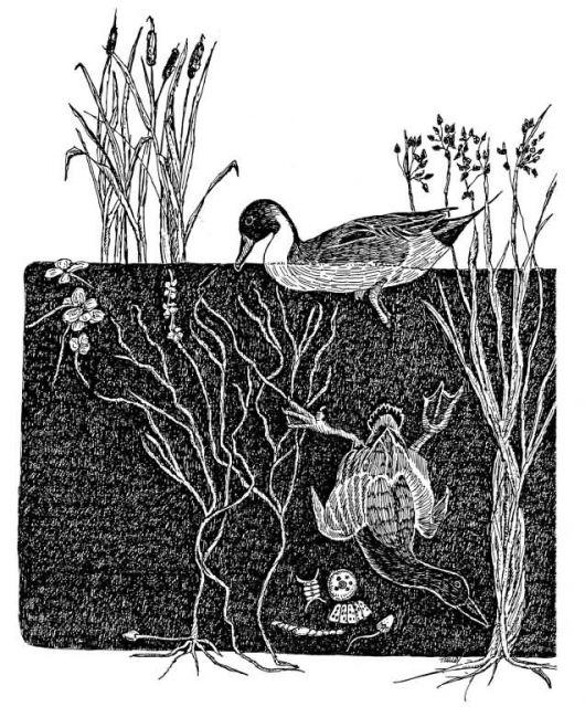 Dabbler & Diver Ducks Picture