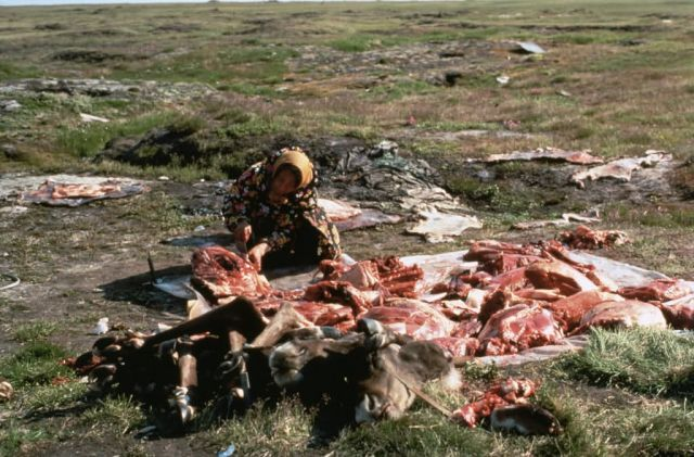 WO5184 Cutting Caribou Meat, Alaska Picture
