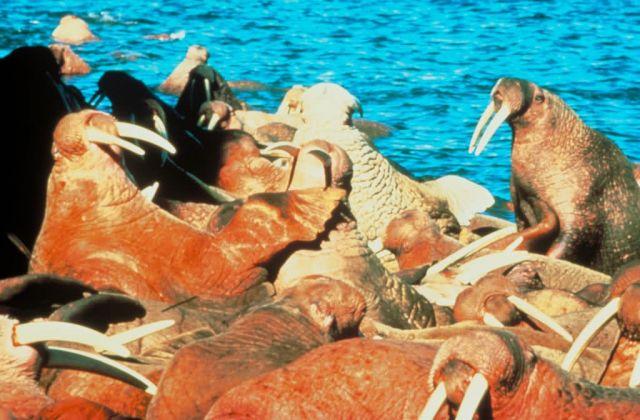 Walrus Picture