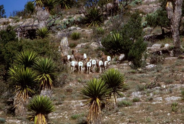 Desert Horned Sheep Picture