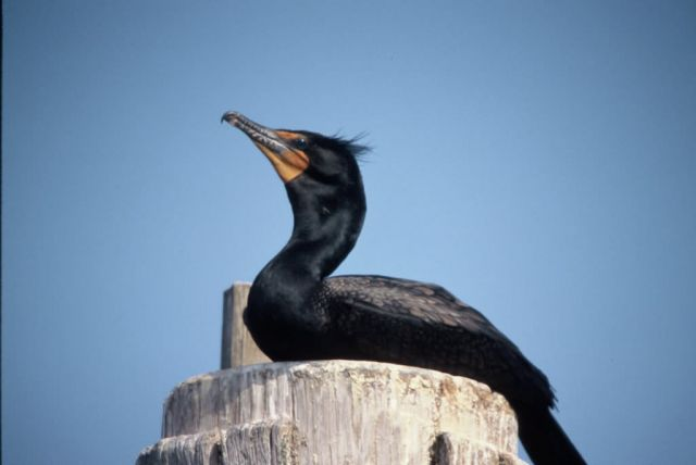 WO18LKarney Double Crested Cormorant Picture
