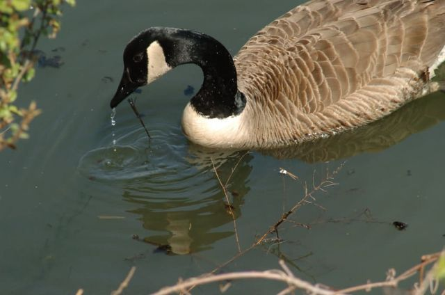 WOE212 Canada Goose Picture